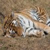 Jigsaw: Sleeping Tiger